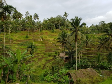tarasy ryżowe Teggalang