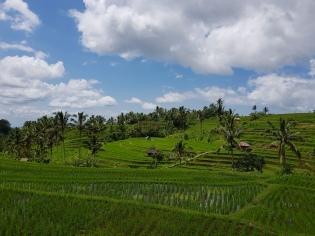 tarasy ryżowe Jatiluwih
